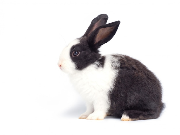 Coelho branco bebê na parede branca. coelho adorável bebê, corpo branco e mancha preta nos olhos e ouvidos.