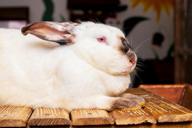 Coelho branco californiano sentado em uma plataforma de madeira_