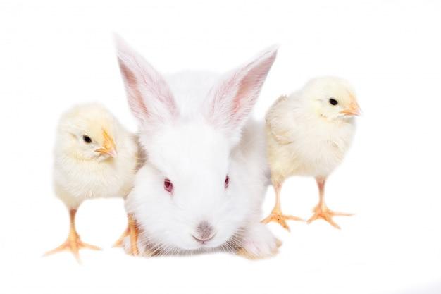 Coelho branco com galinhas no fundo branco