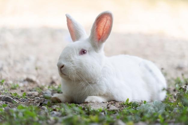 Coelho branco deitado no campo de grama ao ar livre
