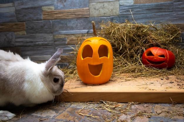 Coelho branco está estudando abóboras para o halloween jack o lanternas vermelhas e amarelas em uma placa de madeira a