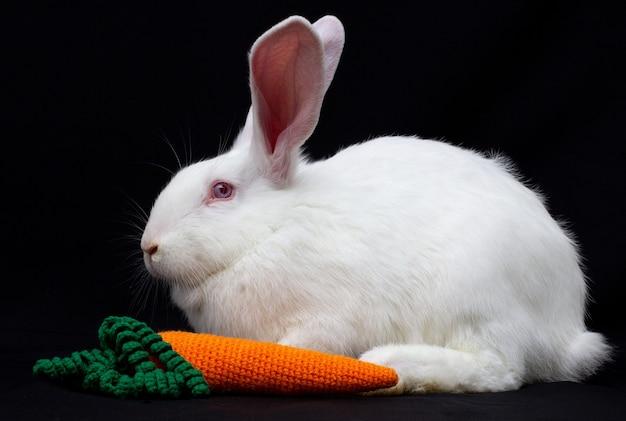 Coelho branco fofo com cenoura em um fundo preto