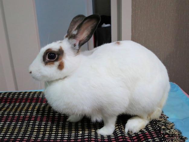 Coelho branco fofo em pé sobre o pano na casa do coelho