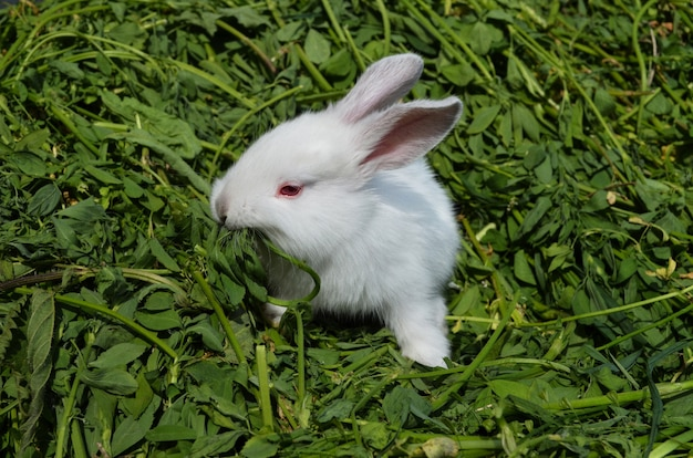 Coelho branco sentado na grama verde