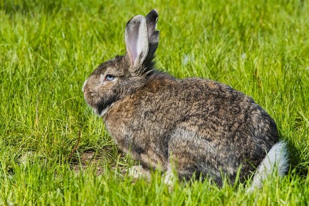 Coelho cinzento sentado na grama verde. grande lebre cinza adulta com orelhas compridas em pleno crescimento na grama verde. coelho comendo em um gramado verde.