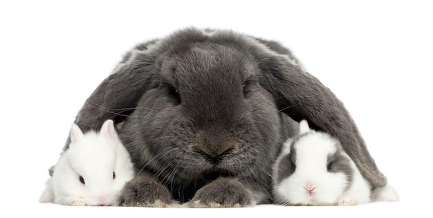 Coelho com orelhas caídas e coelhos jovens, isolados no branco