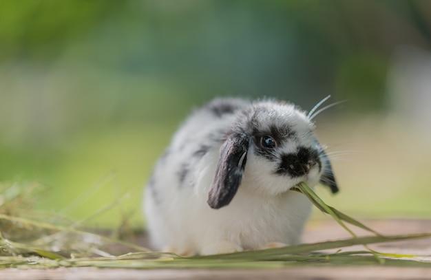 Coelho comendo grama, coelho de estimação, holanda