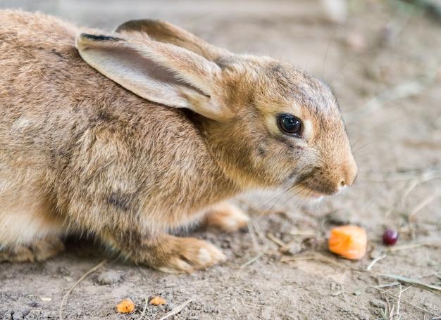 Coelho da páscoa vermelho grande e fofo comendo cenoura lá fora