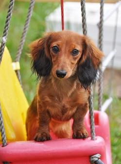 Coelho dachshund de cabelos compridos, sentado em um balanço