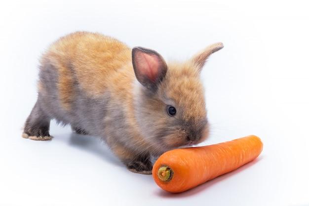 Coelho de páscoa bebê fofo vermelho comendo cenoura no fundo branco