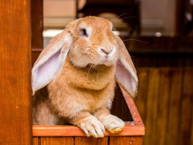 Coelho de raça carneiro francês com orelhas abaixadas olha para fora da gaiola_