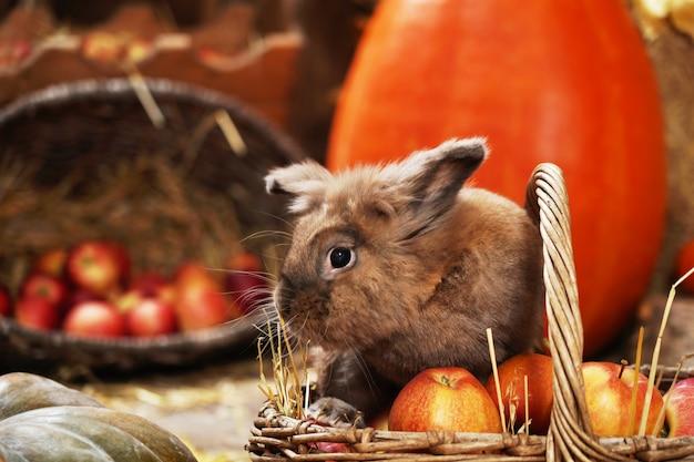 Coelho decorativo no local do outono, sentado entre as abóboras de feno e maçãs.