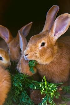 Coelho e coelhos pequenos comem cenouras