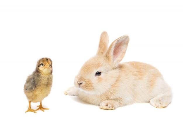 Coelho e frango