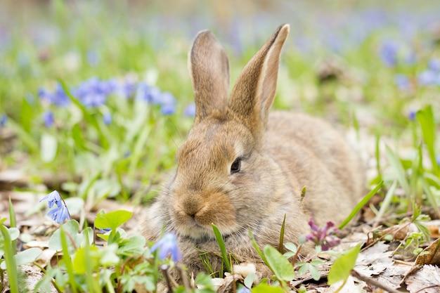 Coelho em um prado de floração. lebre em uma clareira de flores azuis