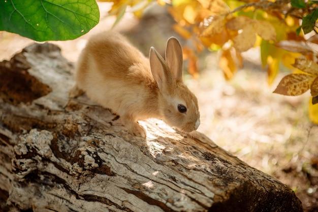 Coelho engraçado ginger com orelhas compridas sentado em um tronco na floresta