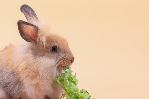 Coelho fofo comendo vegetais em fundo amarelo