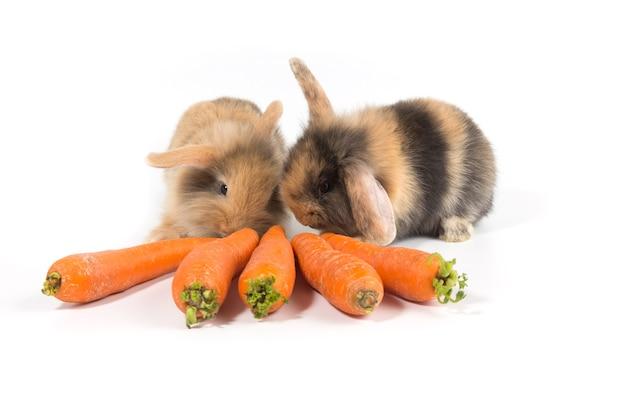 Coelho marrom comendo cenoura no fundo branco