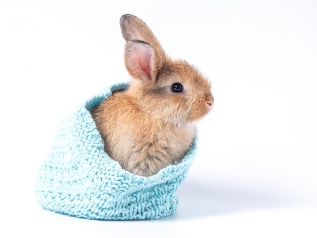 Coelho marrom lindo bebê azul chapéu de confecção de malhas isolado na parede branca.