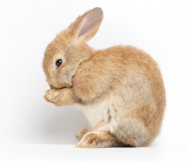 Coelho marrom pequeno bonito no branco. o conceito de mamíferos e páscoa. isolado