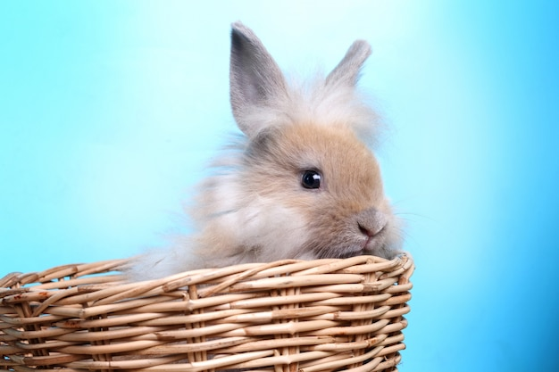 Coelho peludo em uma cesta, azul