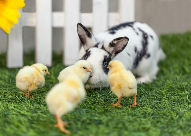 Coelho que joga com as galinhas no jardim.