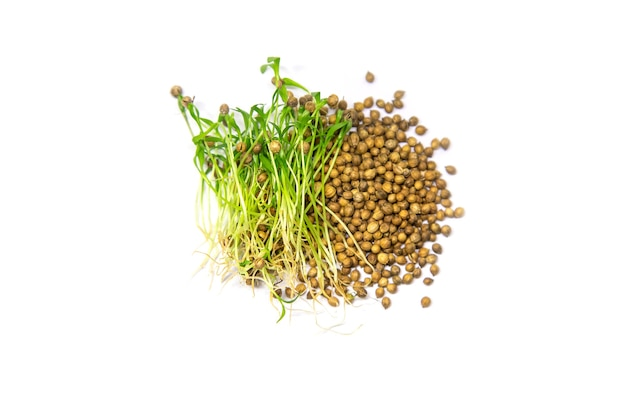 Coentro microgreen isolado em um fundo branco. foco seletivo. comida.