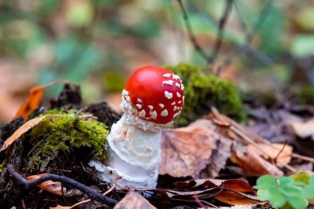 Cogumelo agaric mosca, close up. amanita muscaria ou fly agaric ou fly amanita, é um fungo basidiomiceto psicoativo e cogumelo venenoso não comestível. feche a foto de fungos vermelhos.
