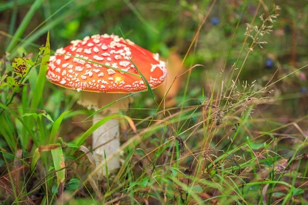 Cogumelo agárico voador na floresta