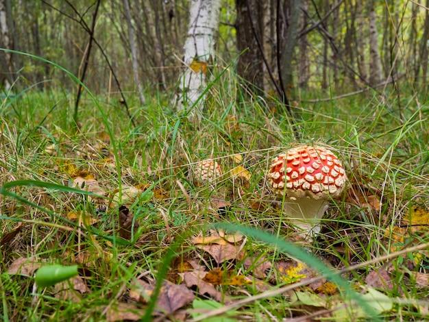 Cogumelo amanita (amanita muscaria) na floresta de outono