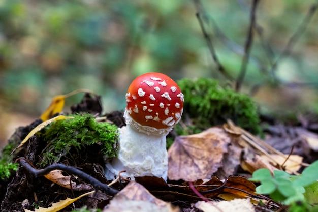 Cogumelo amanita muscaria na floresta, acabou de brotar - o nascimento da mosca agaric