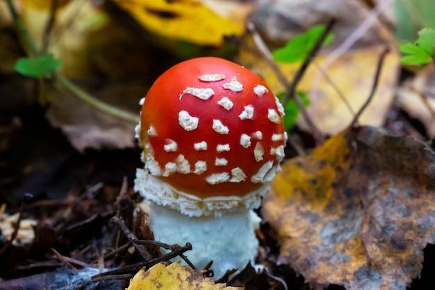 Cogumelo amanita muscaria, um jovem cogumelo vermelho que cresce na floresta no outono. cogumelo alucinógeno venenoso, tratamento de vermes para animais selvagens