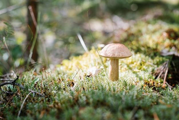 Cogumelo aspen cresce nos fores