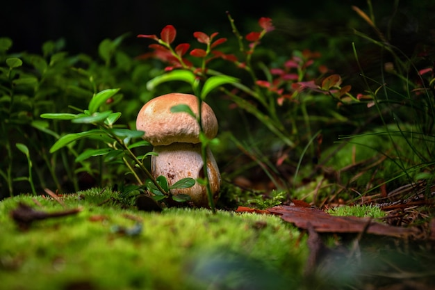 Cogumelo boletus edulis porcini na floresta em musgo entre folhas de mirtilo e profundidade de grama rasa ...