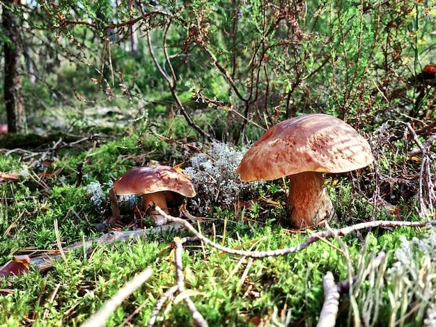 Cogumelo branco na floresta com a luz do sol em uma floresta de outono. procure cogumelos na floresta. conceito de cogumelos da floresta.