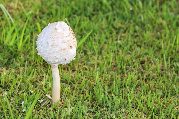 Cogumelo branco na grama verde, pronta para ser colhida com espaço de cópia