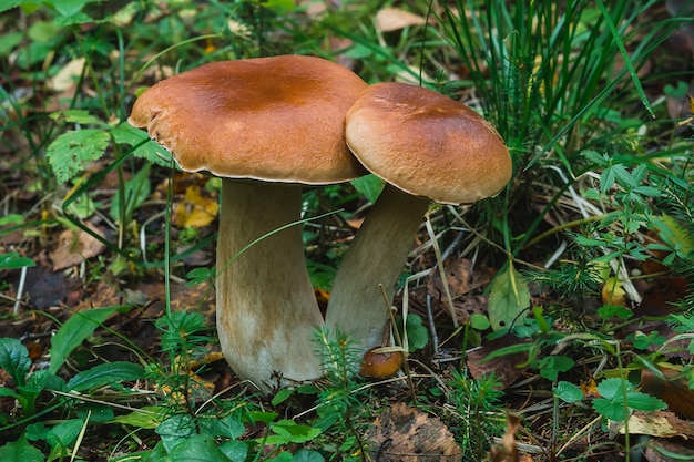 Cogumelo branco no outono floresta