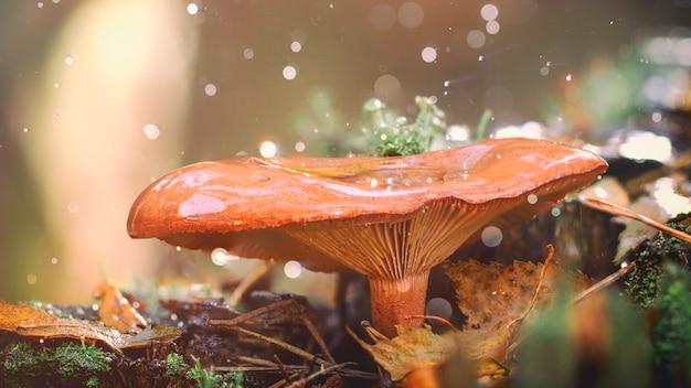 Cogumelo chanterelle na madeira, valioso cogumelo comestível