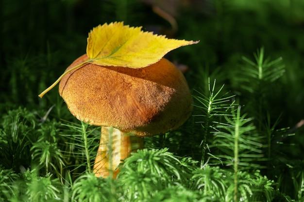 Cogumelo comestível de tampa laranja crescendo em musgo verde. colheita de cogumelos comestíveis na floresta.