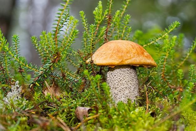 Cogumelo comestível de tampa laranja crescendo em musgo verde. leccinum aurantiacum colheita de cogumelos na floresta. cogumelos comestíveis nas florestas do norte da europa.