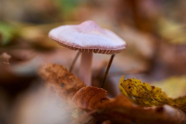 Cogumelo cor-de-rosa na floresta na grama e nas folhas.