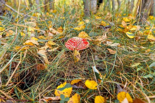 Cogumelo de alucinógeno tóxico fly agaric e folhas amarelas na grama na floresta de outono. macro de fungo vermelho venenoso amanita muscaria fechar em ambiente natural. paisagem de outono natural inspiradora.