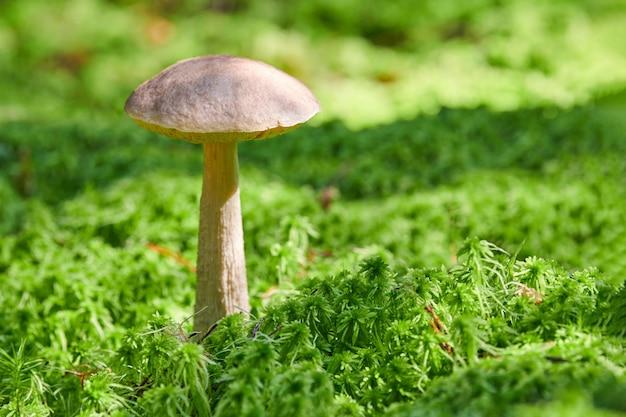 Cogumelo de vidoeiro, copie o espaço. fungo comestível crescendo em musgo. bolete fantasma do pântano branco. alimentos mal absorvidos.