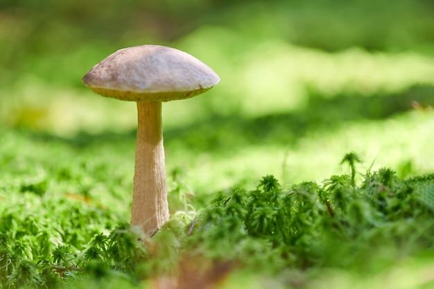 Cogumelo de vidoeiro. fungo comestível crescendo em musgo. bolete do pântano fantasma branco. copie o espaço