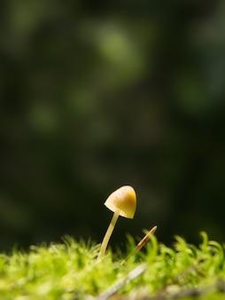 Cogumelo lamelar pequeno em um musgo verde em uma floresta, iluminado por um raio de sol, inclinado para o lado direito
