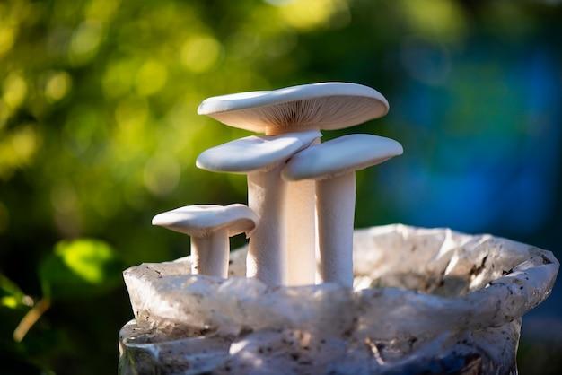 Cogumelo leitoso da criação de animais em uma árvore.
