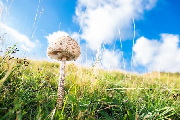 Cogumelo macrolepiota procera no meio de um prado no final do verão.