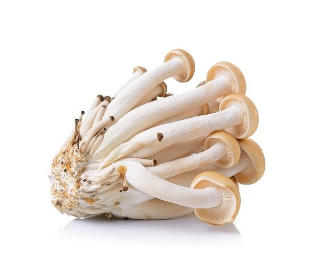 Cogumelo marrom faia isolado