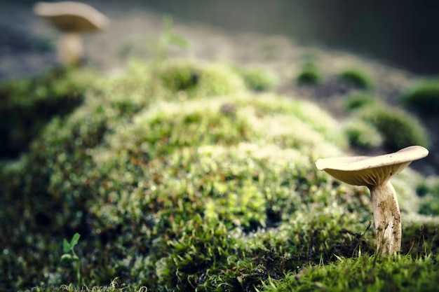 Cogumelo pequeno no primeiro plano com outro cogumelo
