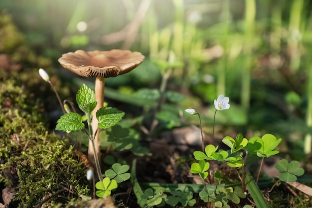 Cogumelo selvagem crescendo em um toco coberto de musgo perto de uma planta florida de azedinha na floresta de primavera